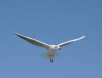 чайка летания Стоковое фото RF