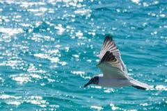 Чайка летая над волнами карибского моря Стоковое Изображение RF