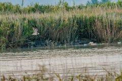 Чайка летая над рекой Стоковое Изображение