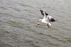 Чайка летая улавливает хлеб на лету стоковая фотография