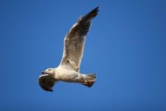 чайка летая стоковое изображение