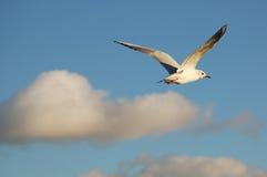 чайка летая Стоковые Изображения