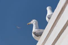 Чайка моря в небе Стоковая Фотография