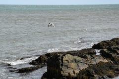 Чайка моря над скалистым побережьем Род-Айленда стоковое фото