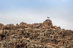 Чайка моря на бассейнах утеса Стоковые Изображения RF