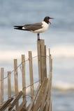Чайка моря на загородке с открытым ртом Стоковое Изображение