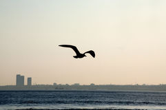 Чайка моря на заходе солнца Стоковое фото RF