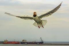 Чайка моря на предпосылке разгржать топливозаправщиков в Ust Luga стоковые изображения rf
