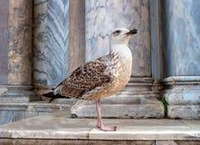 Чайка моря на шагах собора Сан Marco Италия venice Шаги от сизоватого мрамора На заднем плане, стоковое фото
