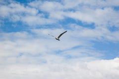 Чайка моря перед облачным небом Стоковое Изображение RF