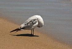 Чайка моря прихорашиваясь на песке Стоковые Фото