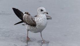 Чайка моря стоя на его ногах на пляже Стоковое Изображение RF