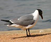 Чайка моря Стоковое Изображение