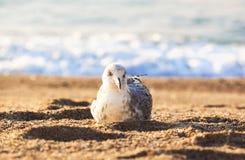 Чайка моря Стоковые Фото
