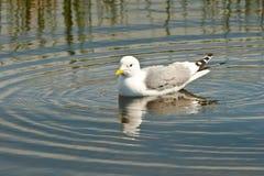 чайка мяукает заплывание Стоковое фото RF