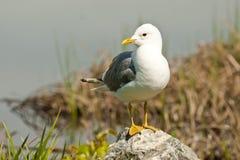 чайка мяукает Стоковое фото RF
