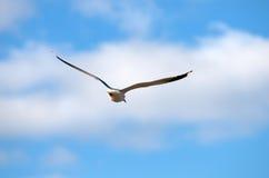 чайка мяукает Стоковые Изображения