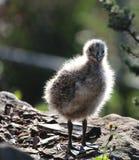 Чайка младенца Стоковые Изображения RF
