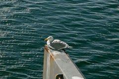 Чайка наслаждаясь хорошей погодой Стоковое Изображение