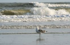 Чайка на бечевнике океана стоковые фото