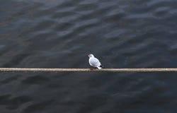 Чайка на веревочке Стоковые Изображения RF