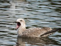 Чайка на воде 02 Стоковые Изображения RF