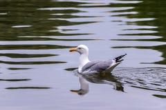 Чайка на воде стоковая фотография