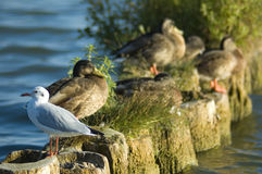 Чайка на волнорезе Стоковая Фотография RF
