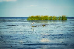 Чайка над водой Стоковые Изображения