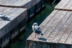 Чайка на деревянной пристани понтона Стоковая Фотография