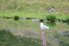 Чайка на деревянном столбе на озере Стоковые Изображения
