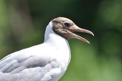 Чайка на зеленой природе предпосылки Стоковые Изображения RF