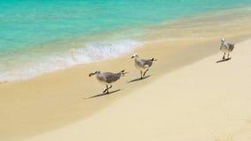 Чайка на карибском пляже Стоковые Изображения RF