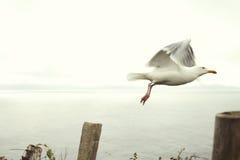 Чайка на кольце Dingle в Ирландии Стоковые Изображения