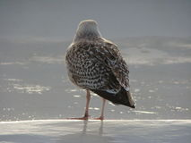 Чайка на море Wadden Стоковые Фотографии RF