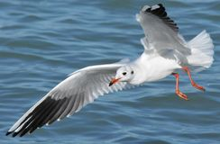 Чайка над озером Balaton Стоковое Изображение