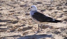 Чайка на песке Стоковые Изображения