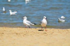Чайка на песке Стоковая Фотография