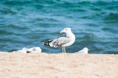 Чайка на песчаном пляже, море Стоковые Изображения RF