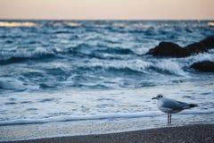 Чайка на песчаном пляже смотря в океане st petersburg света залива Финляндии вечера свободного полета Стоковые Изображения RF