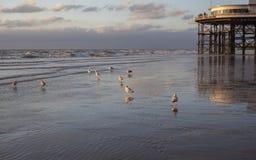 Чайка на пляже Блэкпула стоковое фото rf