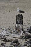 Чайка на пляже в Орегоне стоковое изображение