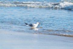Чайка на пляже, голубое море Стоковые Фотографии RF