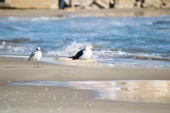 Чайка на пляже, голубое море Стоковое Изображение