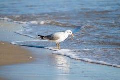 Чайка на пляже, голубое море Стоковая Фотография RF