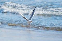 Чайка на пляже, голубое море Стоковые Изображения