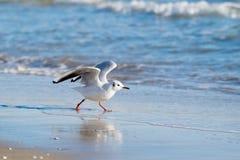 Чайка на пляже, голубое море Стоковые Изображения RF