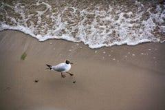 Чайка на побережье Балтийского моря Стоковые Изображения
