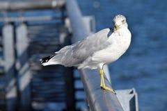 Чайка на поиске Стоковая Фотография