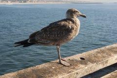 Чайка на пристани Стоковое Изображение RF